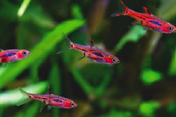 I pesci si rimpiccioliscono per sopravvivere in acque for Pesci per acquario piccolo